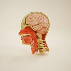 3d-sagittal-section-of-head