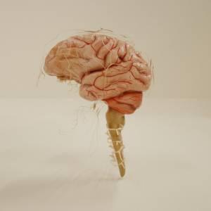 3d-brain-cranial-nerve-spinal-nerver
