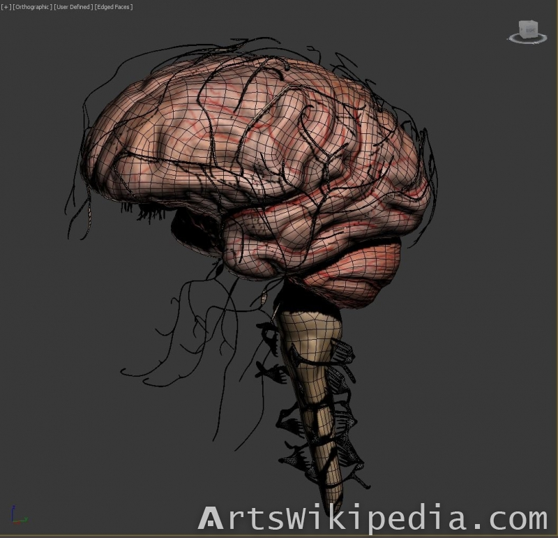 3d brain cranial nerve spinal nerve