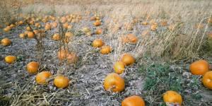 free-pumpkin-field-image-5908e10c9490a