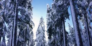 ٍSnow Cypress  trees