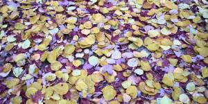 purple-yellow-leaves-5908e100b61a0