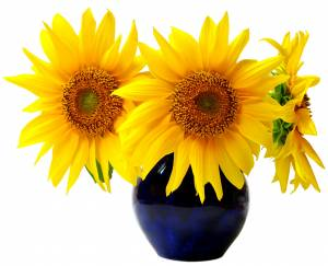 large sunflowers in vase