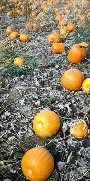 free-pumpkin-image