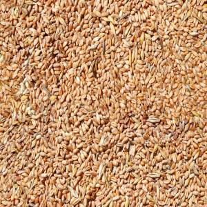 seamless-wheat-grain-texture